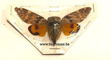 Platypleura Mira (Thailand)