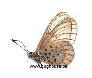 Acraea Quirina (RCA)
