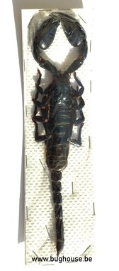 Heterometrus laoticus (Thailand) BIG