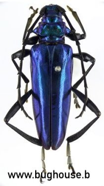 Mecosaspis Chalybeata (RCA)