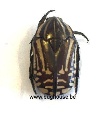 Pachnoda Sp. Zebra color (RCA)
