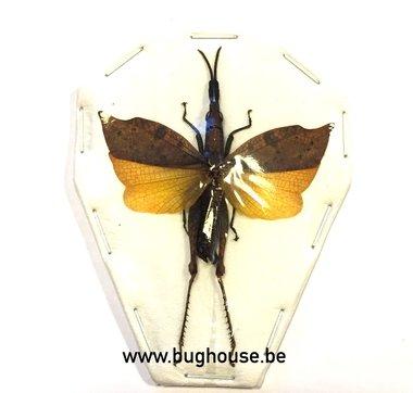 Trigonopteryx celebesia (Sulawesi) ♂︎/♀︎ **SPREAD**