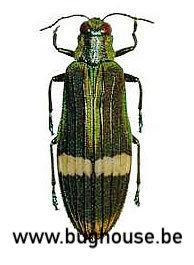 Demochroa Gratiosa (Perak)