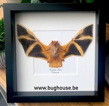 Kerivoula Picta - Zwarte lijst (Vleermuis)