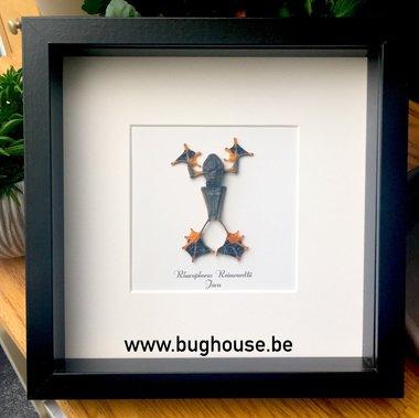 Rhacophorus Reinwardtii - Black framed