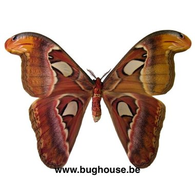 Attacus Atlas male (Java)