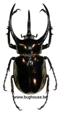 Chalcosoma atlas 60-65 mm (Thailand)