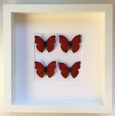 Kader met 4 Cymothoe Sangaris vlinders