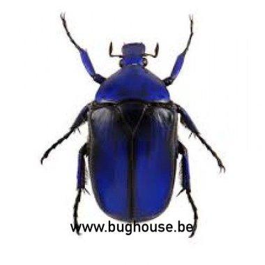 Torynorrhina Flammea BLUE (Thailand)