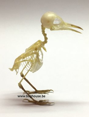 Bird Skeleton (ashy tailorbird)