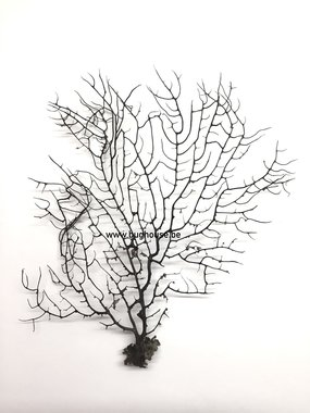 Black sea Fan -Small-