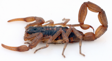 Scorpions - Bughouse the online insect and taxidermy shop