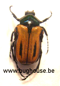 Anochilia Incilis Bilineata (Madagascar)