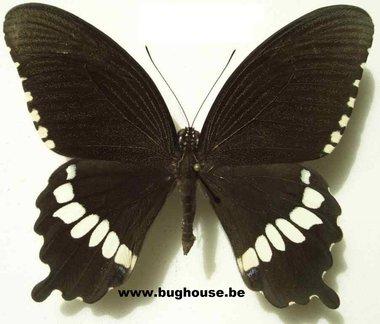 Papilio polytes Alcindor (Sulawesi)