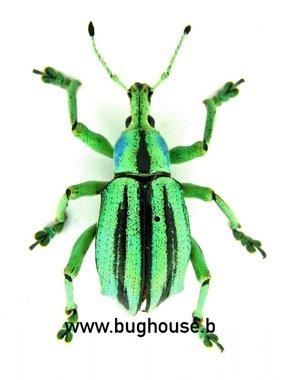 Eupholus Cuvieri (Afrak)