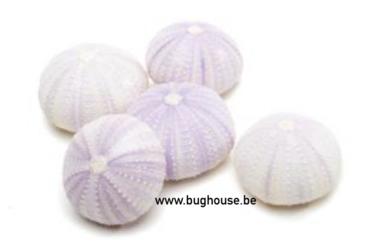 Sea urchin violet