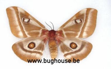 Bunea Aslauga (Madagascar) A-