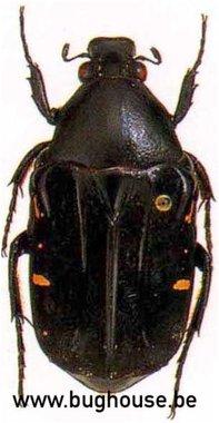 Euchroea Desmaresti (Madagascar)