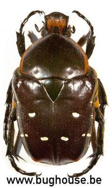 Bothorrhina Ochreata (Madagascar)
