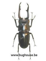 Prosopocoelus Buddah (Madagascar) MALE