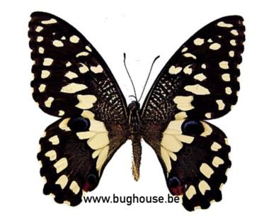 Papilio demoleus libanius (Filipijnen)