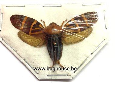 Cercopidae sp. (Sulawesi) SPREAD