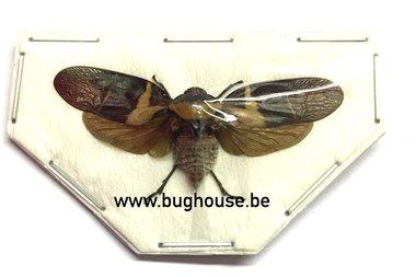 Cercopidae sp02. (Sulawesi) SPREAD