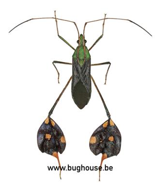Diactor bilineatus sp (Peru)