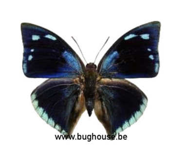 Anaea xenocrathes (Peru)