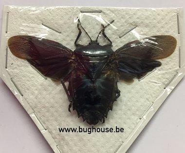 Heteroptera ssp. Mindanau (Java) -ailes ouvertes-