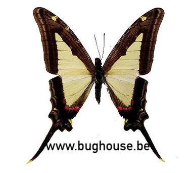 Eurytides Leucaspis (Peru)♂︎