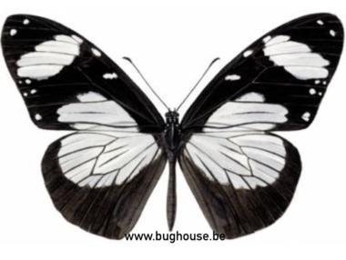 Amauris Niavius (Afrika)♂︎