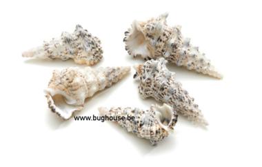 Cerithium Nodelosum shell