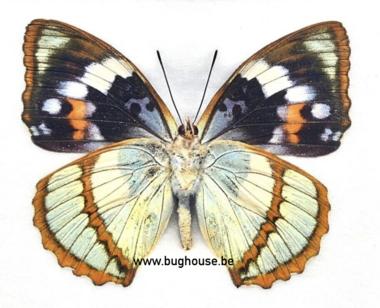 Mimathyma schrenckii (China)