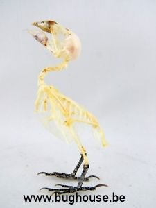Bird Skeleton (Javan Munia) Indonesia