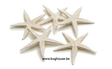 Sugar starfish (Frosted White)