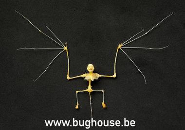 Kerivoula picta skelet