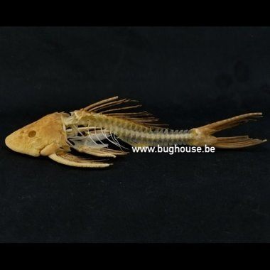 Suckermouth catfish skeleton
