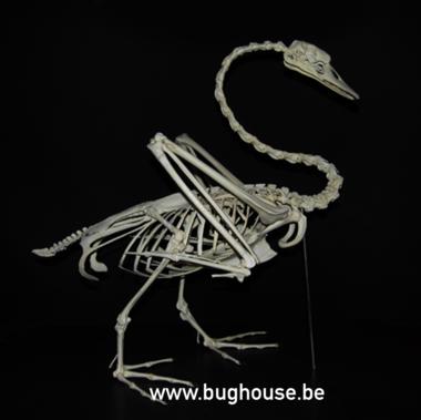 Mute swan Skeleton