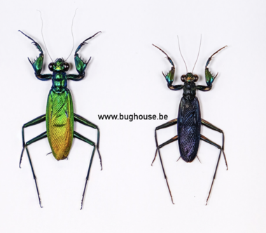 Metaliticus Splendidus PAIR