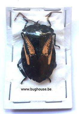 Onchomeris Flavicornis (Arfak) ♂︎/♀︎