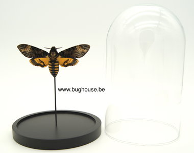 Glass dome with Acherontia Atropos