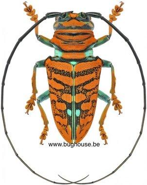 Sternotomis chrysopras reducta (Cameroon)