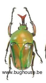 Eudicella Schultzeorum (Cameroon)