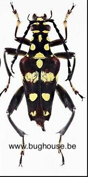 Sagridola maculosa (Madagascar)
