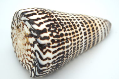 Conus Litteratus shell 8cm