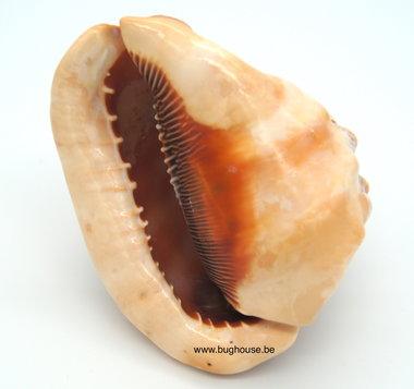 Cassis Rufa shell 15cm