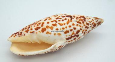 Mitra Papalls shell 13 cm