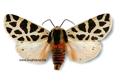 Cymbalophora Pudica (Frankrijk)
