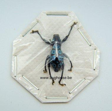 Pachyrrhynchus congestie ocellatus  (Philippines) Blue
